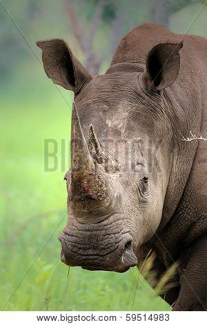 Close-up of White Rhinoceros; Ceratotherium Simum; South Africa