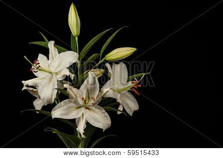White Lilies On Black Background