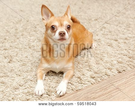 Chihuahua Hua Dog Sits On The Carpet