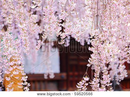 Weeping sakura with japanese temple background