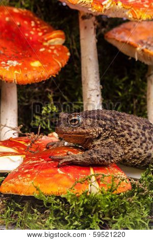 Toad Is Sitting On Amanita