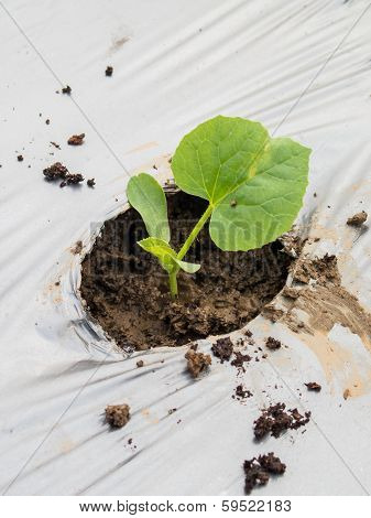 Green Seedlings Melon Sprout Sowing On Mulching Film