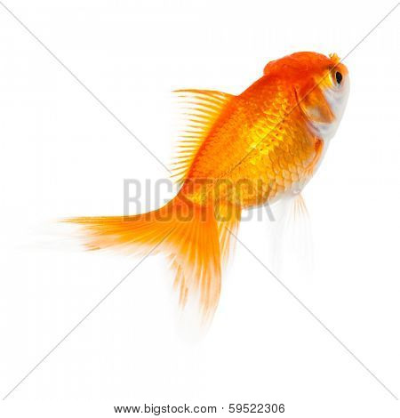 Close up of swimming orange fish, isolated. Concept of wish fulfilment and natural beauty