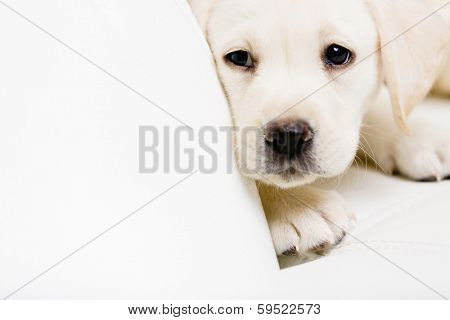 Close up of sad labrador puppy lying on the white leather sofa