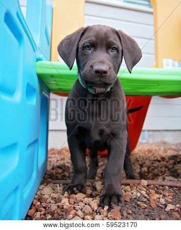 a cute chocolate lab puppy in a play house