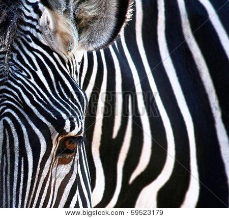 a close up of a pretty zebra