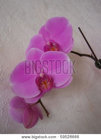 Pink Orchid face