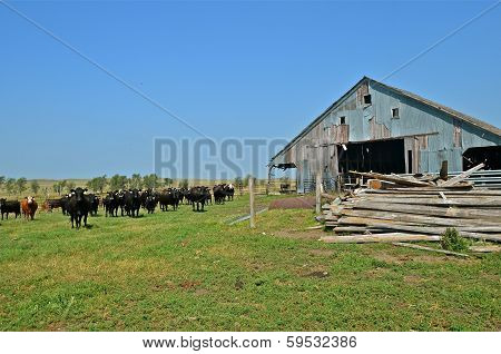 Beef herd near neglected barn
