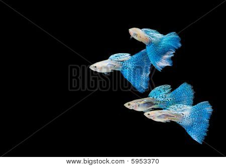 Swimming Blue Guppy, Tropical Fish Pet