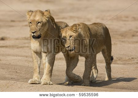 Two African Lion Females (panthera Leo) South Africa
