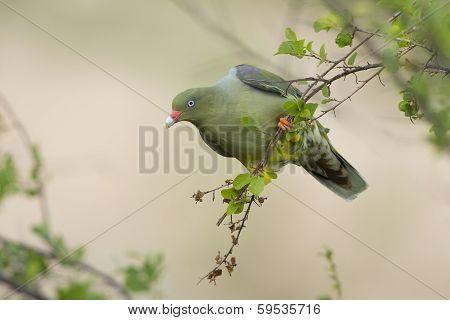 African Green Pigeon (treron Calvus)