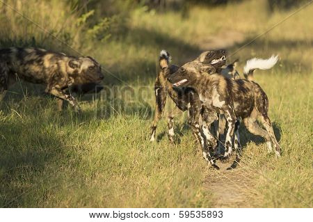 African Wild Dog (lycaon Pictus) South Africa