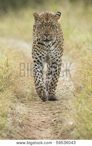 African Leopard (panthera Pardus) South Africa