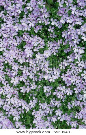 Carpet Of Phlox Flowers