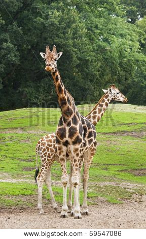 Two Giraffes On Field