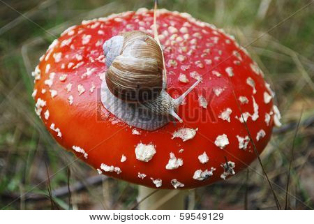 Snail Sitting On Amanita