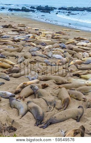 California Elephant Seals in wild Piedras Blancas point in South Big Sur inn Pacific Highway 1