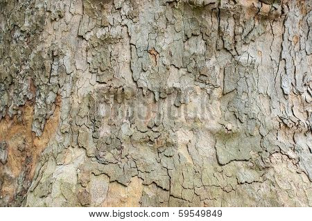 Platan bark