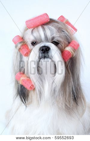 Shih tzu dog with curlers.