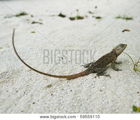 Wild lizard on sand close-up