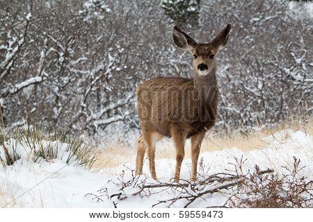 Young mule deer