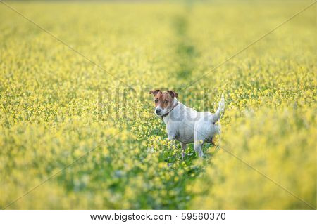 jack russel on flower meadow