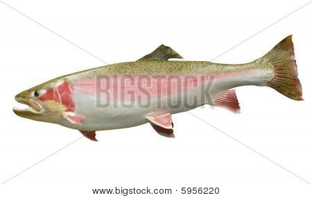 Trophy Rainbow Trout