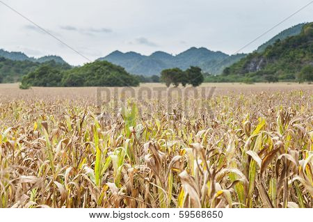 Fields Of Corn Agricultural