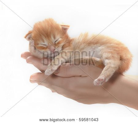 Little red kitten slipping in human hands