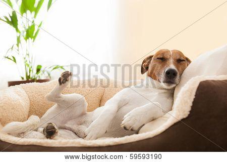 Siesta Dog