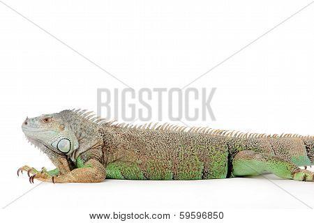 Iguana on white