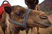 Furry Camel Head poster