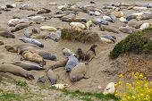 California Elephant Seals in wilderness Piedras Blancas point in South Big Sur Pacific Highway 1