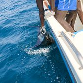 picture of sailfish  - Sailfish catch billfish sportfishing holding bill with hands and gloves - JPG