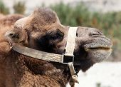 foto of headgear  - Beautiful portrait of Camel head with headgear - JPG