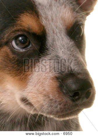 Blue Heeler Puppy Close-Up