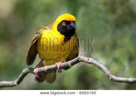 Masked Weaver Bird