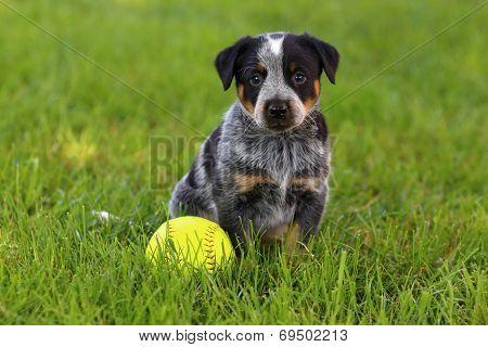 Australian Cattle Dog sitting in lush green grass with baseball