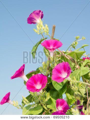 Deep pink blooms of Ipomoea purpurea, Morning Glory, climbing up on a trellis reaching for light