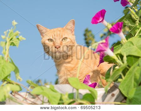 Handsome orange tabby cat peeking out from middle of flowers on top of a high trellis