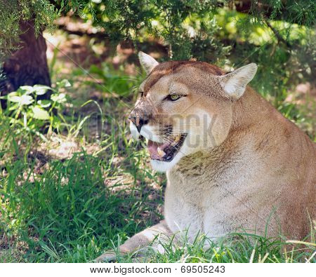 Mountain lion resting in a shade of a tree on a hot summer day, observing