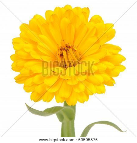 Yellow Double Calendula Flower On White Background