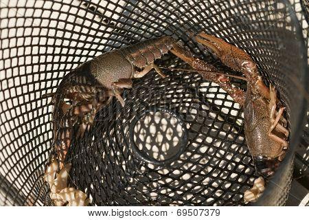 Procambarus acutissimus - Crawdads In Trap