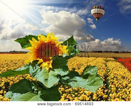 The huge multi-colored balloon flies in the cloudy sky over the kibbutz field. The field is sowed by blossoming yellow buttercups and a picturesque sunflower