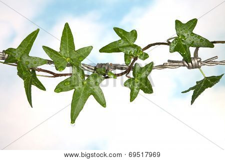 Ivy curling around the sharp spikes of barbed wire