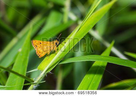 The Sikkim Dart Butterfly