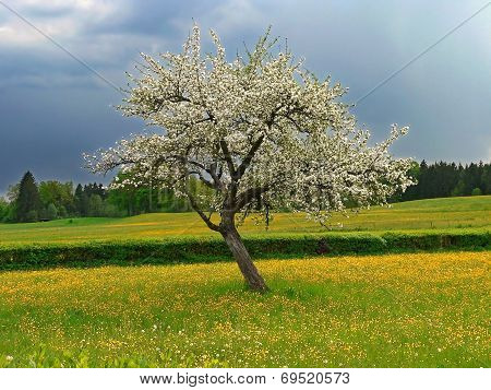 Blooming Appletree In A Buttercup Meadow, Storminess Atmosphere