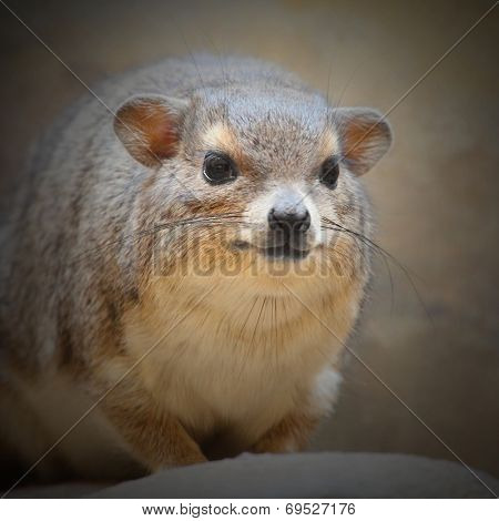 The Rock Hyrax (Procavia capensis). Closeup with shallow DOF.