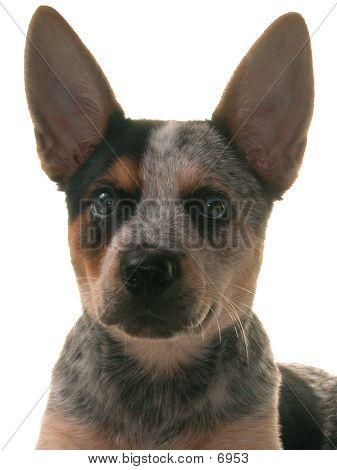 Blue Heeler Puppy Bust