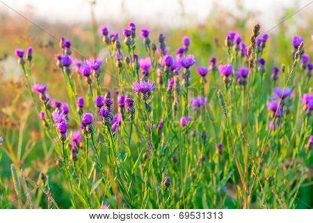 Field With Purple Cornflowers At Dawn